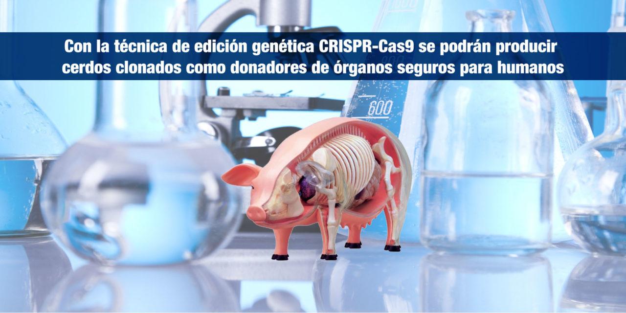 Con la técnica de edición genética CRISPR-Cas9 se podrán producir cerdos clonados como donadores de órganos seguros para humanos